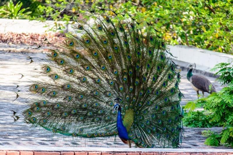 Barbados Wildlife Reserve Peacock